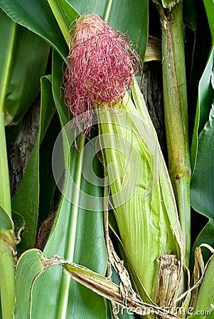 Mexican corncob