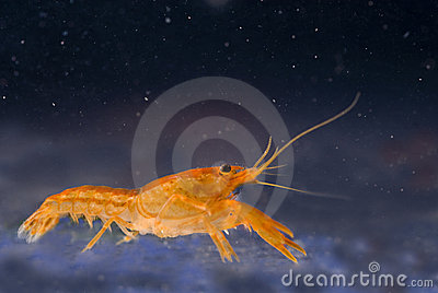 Mexican dwarf orange crayfish