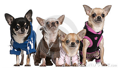 Mexican Hairless dog and Chihuahuas