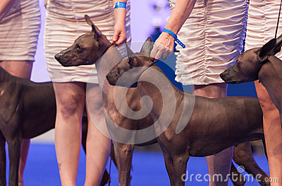 Mexican Hairless dog Editorial Stock Photo