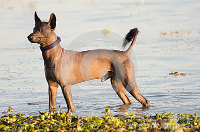 Mexican Hairless Dog - Xochointcuintle Stock Photo - Image ...