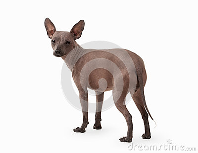 Mexican hairless puppy on white