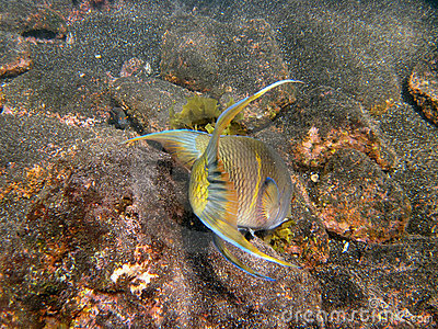 Mexican Hogfish