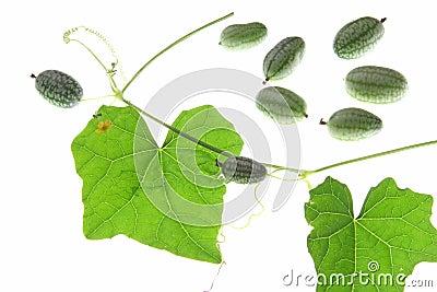 Mexican Mini Cucumber (Melothria scabra)