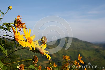 Mexican sunflower whit background