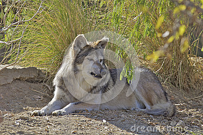 Mexican Wolf Bedded