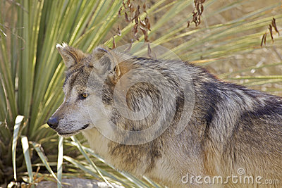Mexican Wolf Portrait