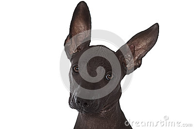 Mexican xoloitzcuintle puppy