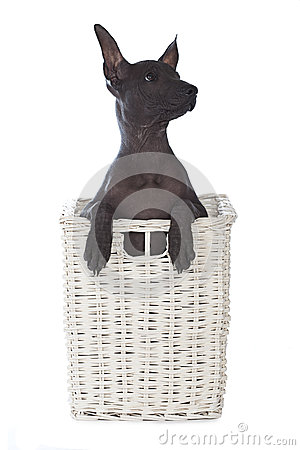 Mexican xoloitzcuintle puppy in a basket