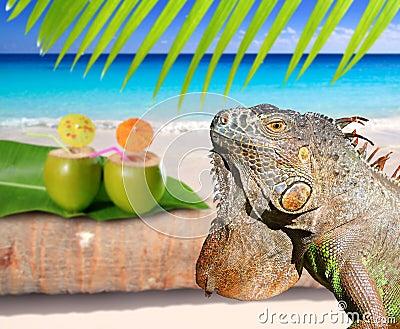 Mexico iguana in coconut Caribbean beach