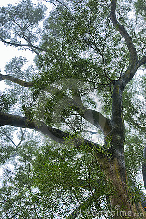 Mgły drzewo