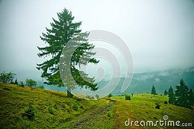 Mgła się jedlinowi drzewa
