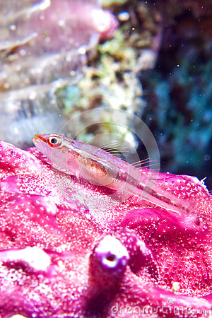 Michels host goby (Pleurosicya micheli)