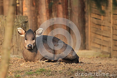 Michie s tufted deer