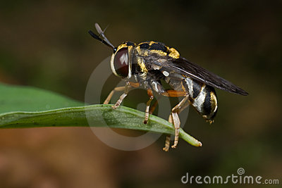 Microdon hoverfly