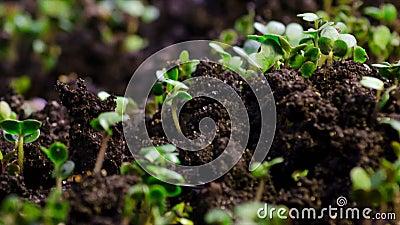 Microgreens роста, киносъемка timelapse видео-