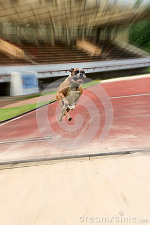 Midair capture of a boxer training to jump