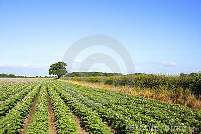 Midsummer potato field