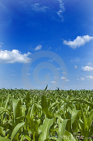 Free Midwest Corn Stock Image - 2648251