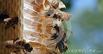 Miel européen, apis mellifera, abeilles sur une raie sauvage, abeilles travaillant sur Alveolus, nectar pour les abeilles, ruche  banque de vidéos