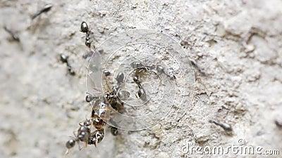 Mieren die een dode bij bewegen stock videobeelden