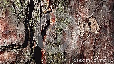 Mierengang langs de weg op de schors van pijnboom stock videobeelden