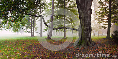 Mighty Beech Tree in foggy park