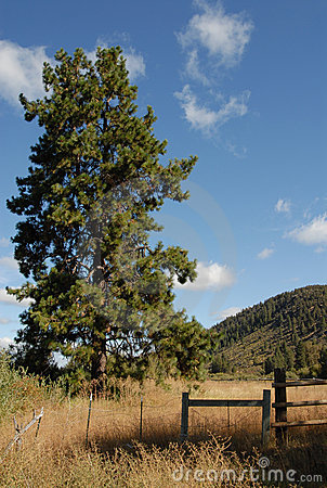 The Mighty Ponderosa Pine