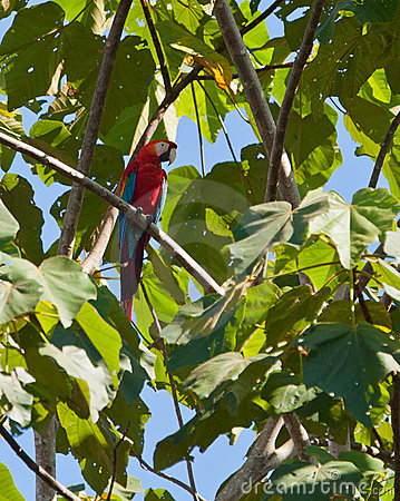 The mighty Red-and-Green-Macaw