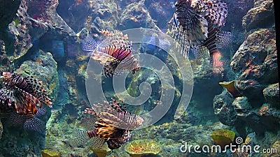 Miglia di leoni Nuoto nel corallo marino video d archivio