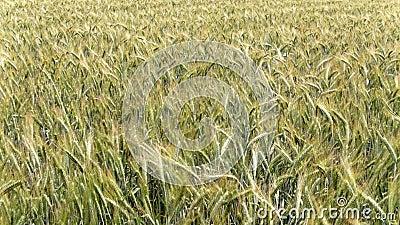 Migrar sobre as orelhas do cereal agitadas pelo vento video estoque