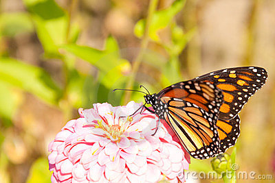Migrating Monarch butterfly feeding on a Zinnia