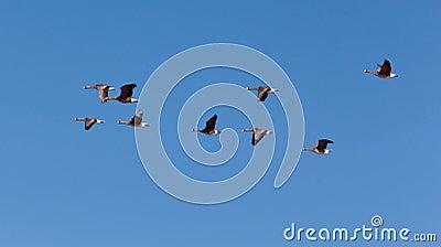 Migratory birds.