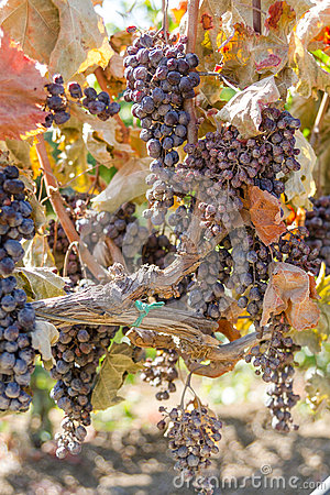 Free Mildew Parasite Infected Vines And Grapes. Royalty Free Stock Photography - 36022027