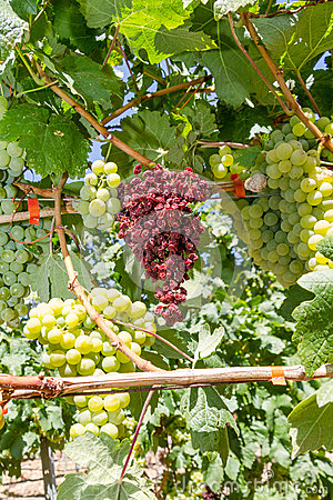 Free Mildew Parasite Infected Vines And Grapes. Royalty Free Stock Image - 36022116