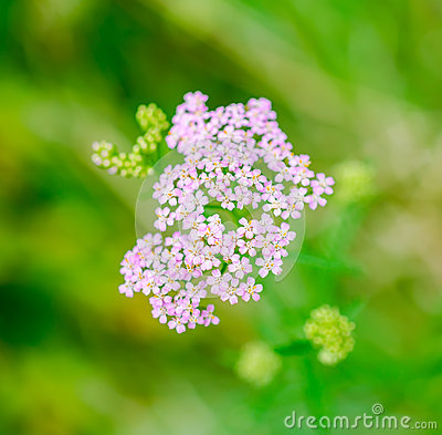 Milfoil herbal medicine, Yarrow (Achillea millefolium)