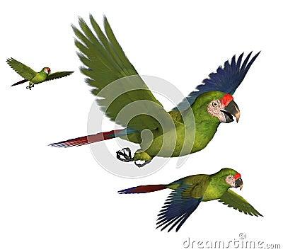 Militära macaws