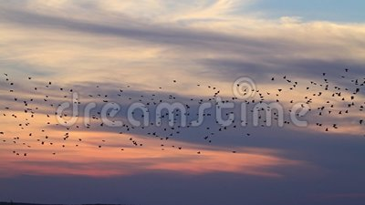 Miljoenstee troep die van starlings bij zonsondergang vliegen stock videobeelden