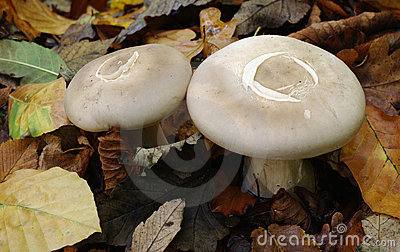 Milk-caps (Lactarius spec.)