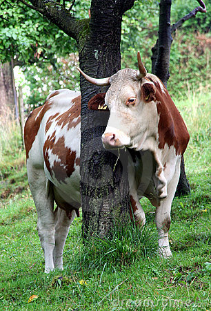 Free Milk Cow Stock Photo - 14886390