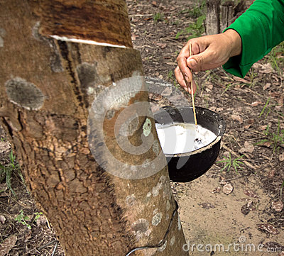 Milk of rubber tree