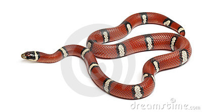 Milk snake or milksnake, Lampropeltis triangulum