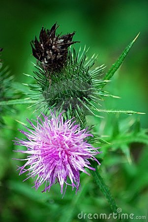 Free Milk Thistle Royalty Free Stock Image - 6044006