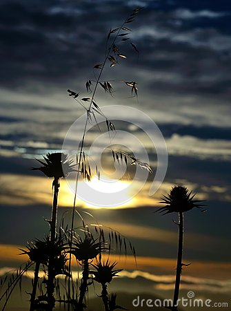Free Milk Thistles And Oats At Sunrise Royalty Free Stock Photos - 52828828