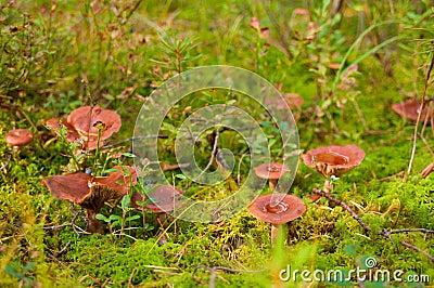 Milkcap mushrooms in the moss