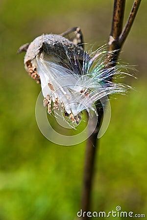 Free Milkweed Seedpod Stock Photography - 11608362
