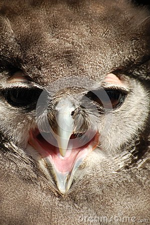 Milky Owl