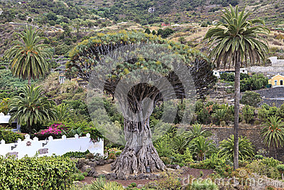Millennial Drago tree at Icod de los Vinos