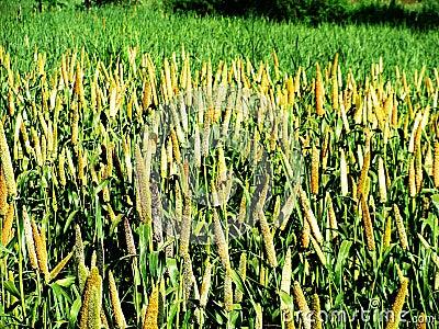 Millet Crop