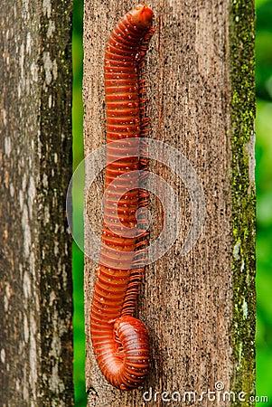 The millipede